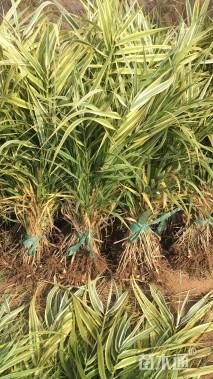 高度50厘米花叶芦竹