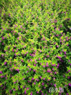 高度25厘米萼距花