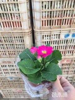 高度15厘米报春花