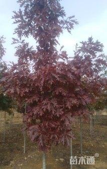 1公分北美红栎
