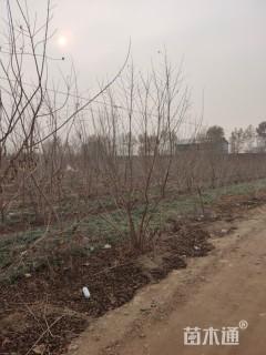 高度4厘米丛生茶条槭