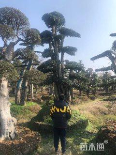 25公分造型椤木石楠