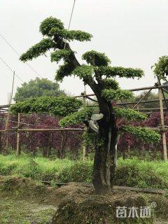 25公分造型榔榆
