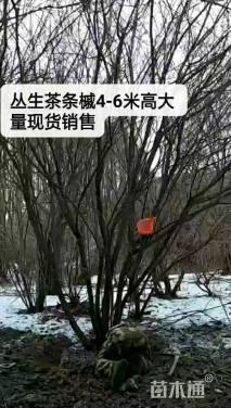 高度600厘米丛生茶条槭