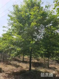 12公分北美红栎