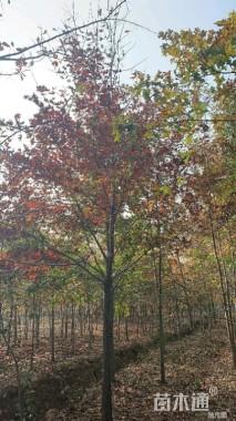 13公分北美红栎