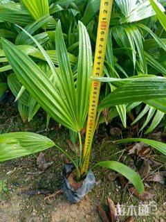 裸干高25厘米蒲葵