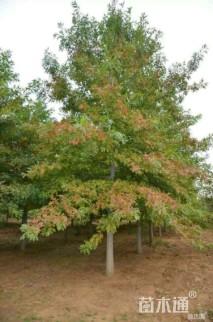 10公分北美红栎