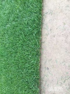 草毯状天堂草