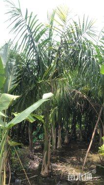 裸干高180厘米大王椰子