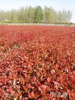 8公分红叶石楠