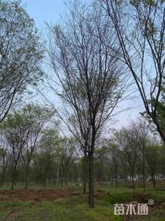 12公分丛生朴树