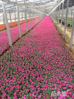 高度15厘米凤仙花