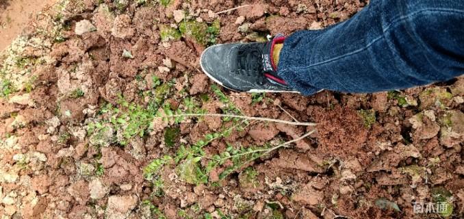 高度30厘米龟甲冬青小苗