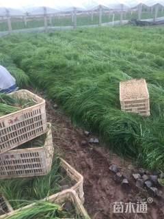高度25厘米青绿苔草