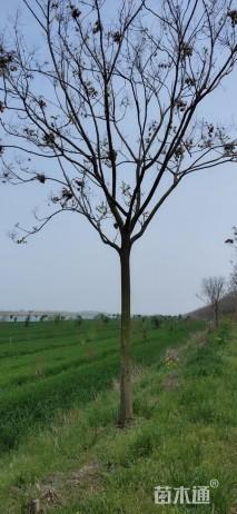 10公分黄山栾树