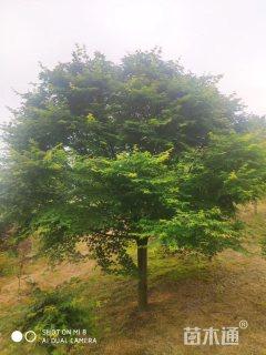 20公分鸡爪槭