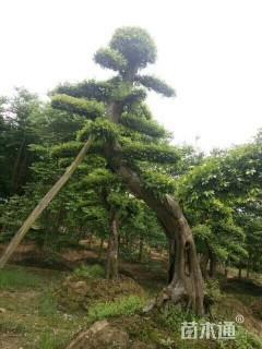 30公分造型榔榆
