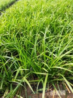 高度20厘米崂峪苔草