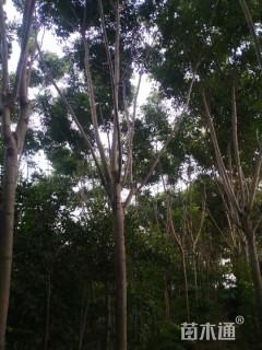 11.5公分黄山栾树