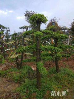 10公分造型榆树