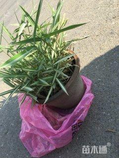 10厘米菲白竹