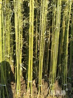 3公分刚竹