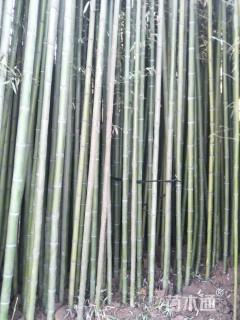 7公分刚竹