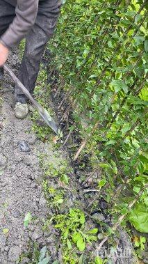 主蔓长150厘米常春油麻藤
