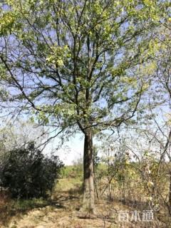 52公分朴树