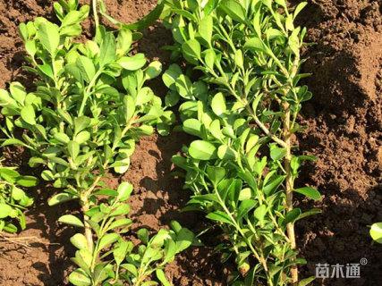 高度40厘米瓜子黄杨