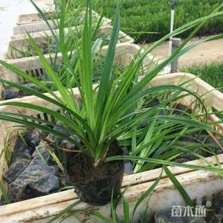 高度25厘米崂峪苔草