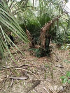 裸干高80厘米铁树