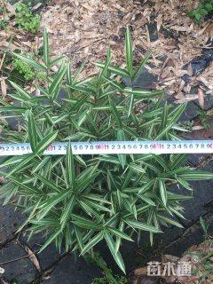 40厘米菲白竹