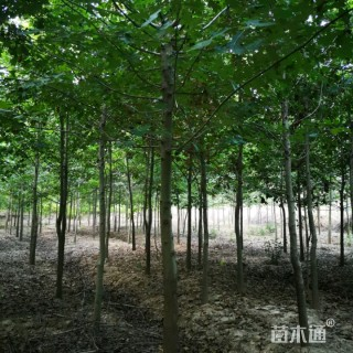 6公分北美红栎