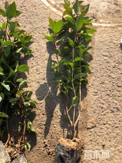 高度50厘米地中海荚迷