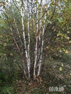 6公分丛生白桦