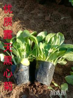 高度10厘米黑心菊