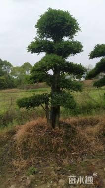 10公分造型椤木石楠