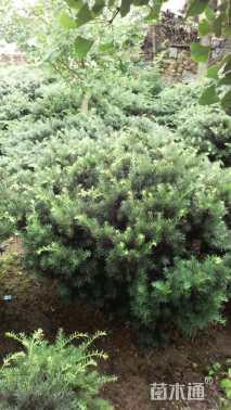 高度90厘米矮紫杉