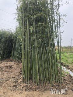4公分刚竹