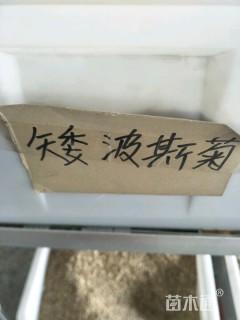 矮波斯菊种子