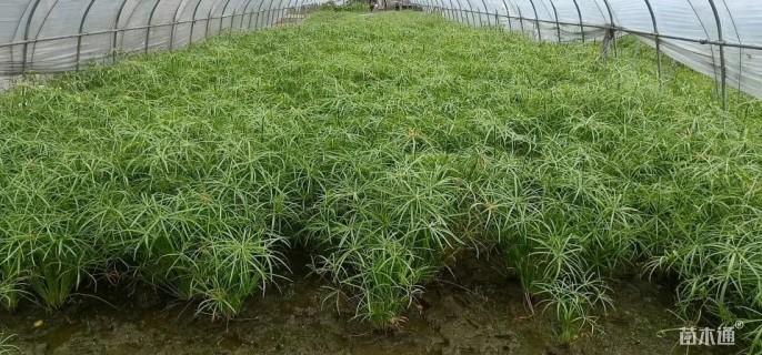 高度100厘米旱伞草