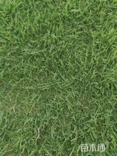 草卷状天堂草