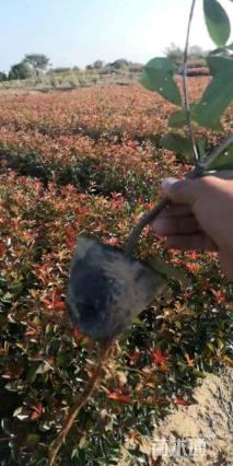 球形红叶石楠小苗