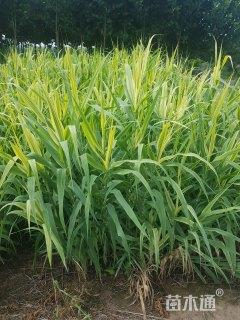 高度80厘米花叶芦竹