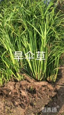 高度50厘米旱伞草