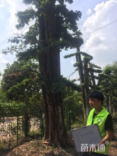 55公分造型榆树