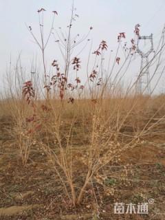 高度300厘米丛生茶条槭