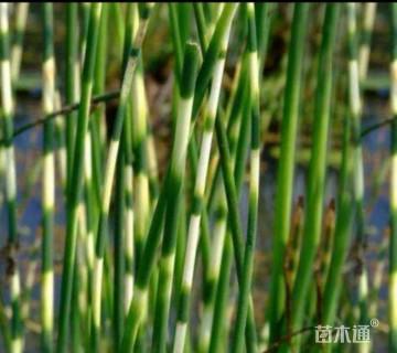 高度20厘米花叶水葱